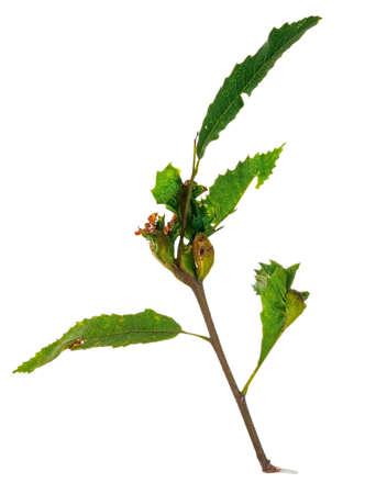 galla: Dryocosmus kuriphilus - gall danni wap su Sweet Chestnut Archivio Fotografico