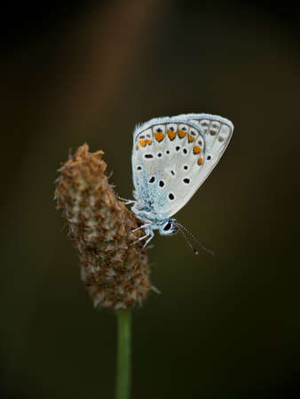 Common blue butterfly macro Stock Photo - 20860268