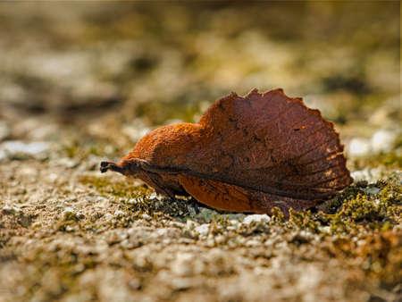 Lappet moth macro