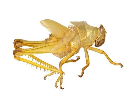 exoskeleton: Grasshopper exoskeleton over white