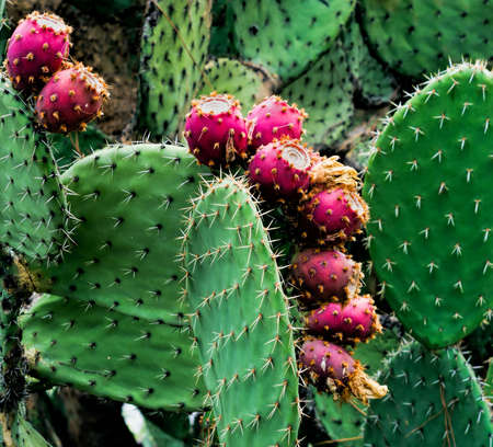 opuntia: Cactus fruit - Indian figs asa Prickly pears, Opuntia figs