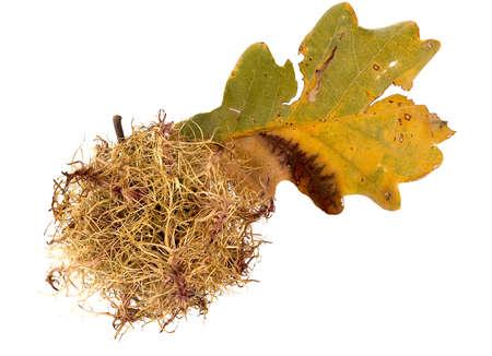 galla: Oak gall natura primo piano Archivio Fotografico