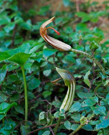 vulgare: Arisarum vulgare - unusual wild flower