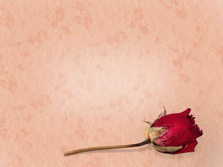 in loving memory: Faded, preserved rose, loving memory  On pink  Stock Photo