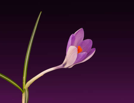 Beautiful bright orange and purple spring crocus flower photo