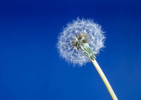 Beautiful dandelion seed head aka clock over blue photo