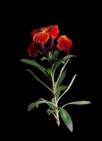 wallflower: Garden favourite - wallflower over black