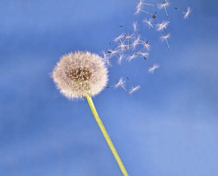 Nature   Dandelion seeds in the breeze, blown  Stock Photo
