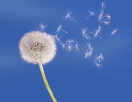 Dandelion clock seedhead, seeds fly in the breeze