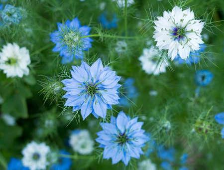 Nigella sativa aka kwiat kopru, kwiat gałki muszkatołowej, czarnego kminku, kolendry i rzymskiego kminu czarnego