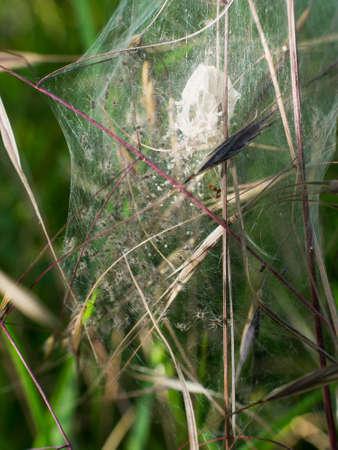 nursery web spider: TINY little Pisaura aka Nursery web spiders