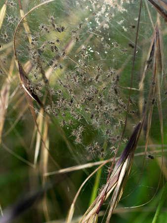 nursery web spider: Tiny spiderlings in nest, just hatching - Pisaura, Nursery web spiders Stock Photo