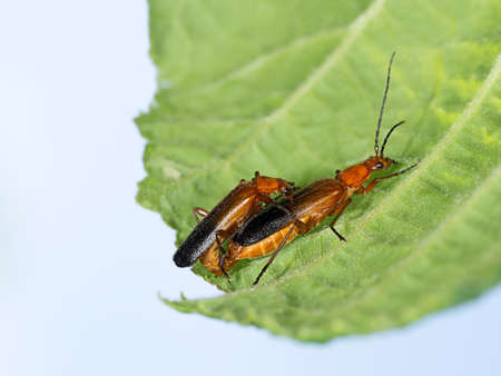 cantharis: Love is      Soldier beetles, Cantharis rustica on leaf