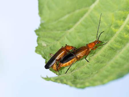 Love is      Soldier beetles, Cantharis rustica on leaf