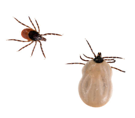 Deer tick, Black Legged tick, Ixodes scapularis  White background  Stock Photo