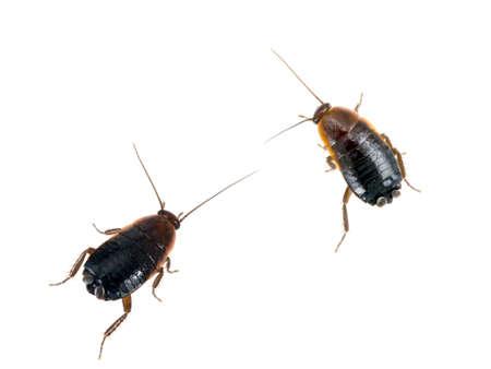 Pests  Two common black cockroaches - Blatta orientalis  On white