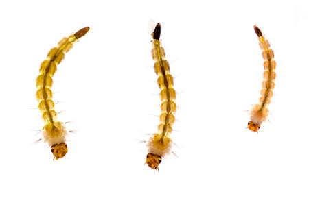 mozzie: Mosquito larvae on white
