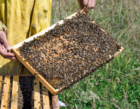 mellifera: Apiculture detail  Frame with bees  Apis mellifera