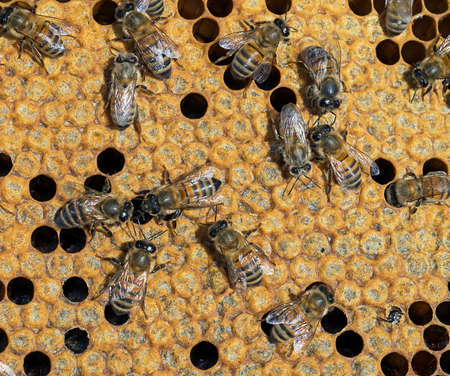 pupae: Young bee emerging Stock Photo