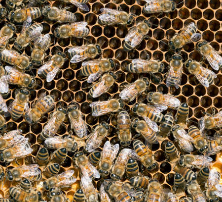pupae: Busy bees closeup in beehive  Stock Photo