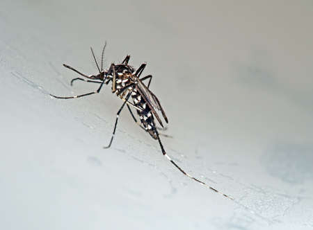 Tiger mosquito photo