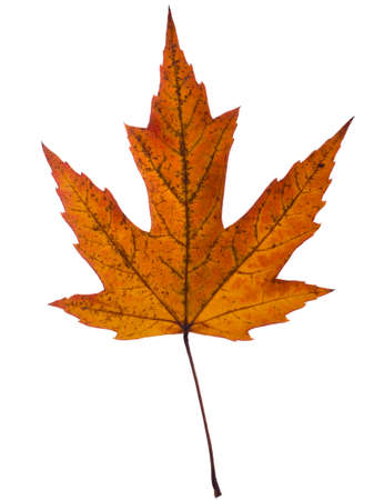 silver maple: Pressed leaf  Acer saccharinum, commonly known as silver maple, creek maple, silverleaf maple, soft maple, water maple,swamp maple, or white maple