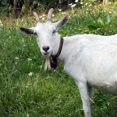 billy goat: Curious white billy goat. Seems to smile. Stock Photo