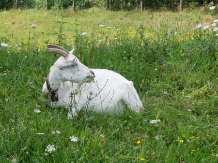 billygoat: Content white goat in grass. Stock Photo