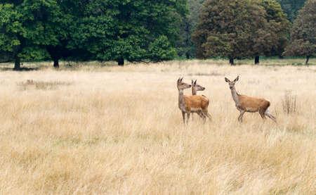 Red deer in long grass, England. Breeze ruffling grass.