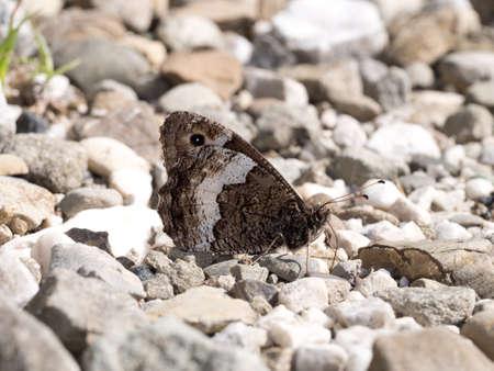 grayling: Mariposa Thymallus