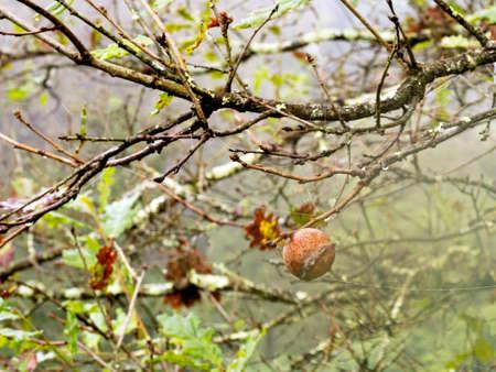 galla: Oak mela fiele al mattino presto, autunno, cadere. Nature. Archivio Fotografico