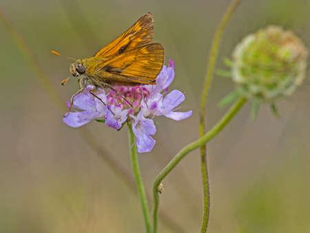 ochlodes: Large Skipper (Ochlodes sylvanus)butterfly on purple scabious wild flower