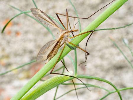 crane fly: Tipulidae. Crane fly in fennel.