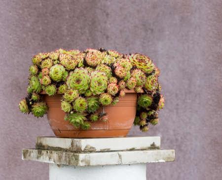 drought    resistant plant: Sempervivens plants, succulents. Mauve house wall behind.