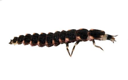 glowworm: Profile of Lampyris larva isolated on white. Baby glowworm