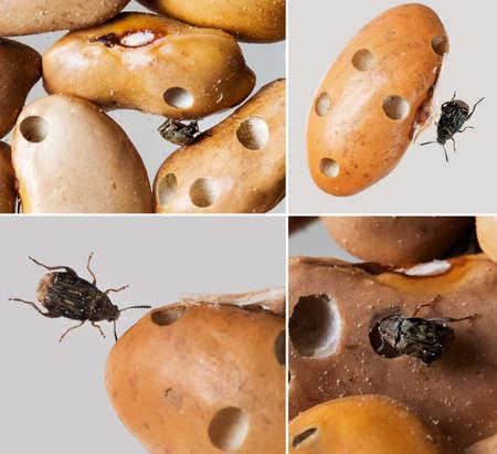weevils: Acanthoscelides obtectus. Bean weevils.