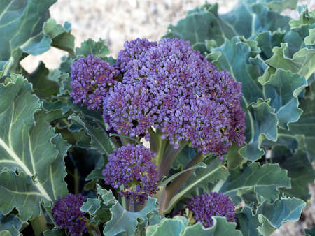 green and purple vegetables: Tasty seasonal veg. Purple sprouting cabbage. In flower. Stock Photo