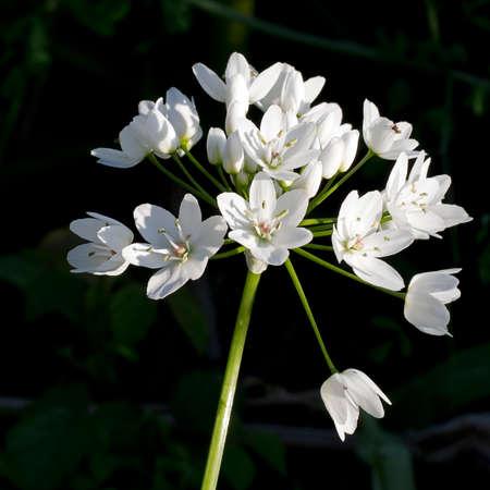 allium: Allium ursinum in woodland