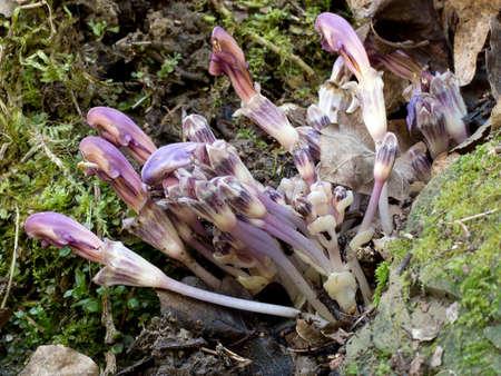 parasitic: Unusual, leafless, parasitic, plant, Europe. Lathraea clandestina. Stock Photo