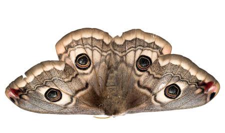 mimicry: Beautiful Saturnia pavonia moth. Found dead.