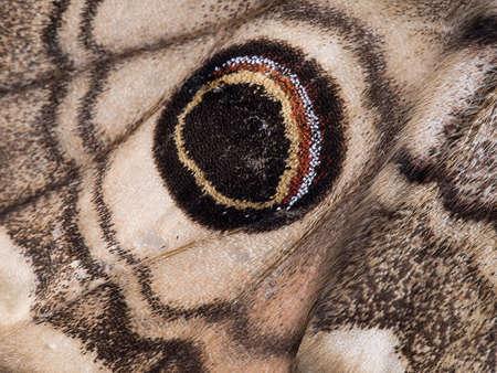eyespot: Macro Eyespot aka ocellus of Saturnia pavonia. Small emperor moth.