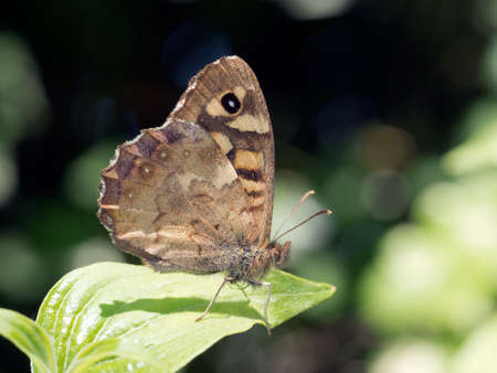 speckled wood: Speckled wood butterfly on leaf. Pararge aegeria. In habitat woodland. Stock Photo