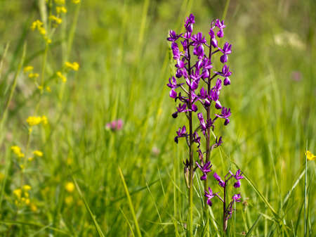 uncultivated: Springtime. Anacamptis laxiflora in meadow field. Wild purple orchid. Stock Photo