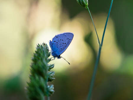 hindwing: Provencal Short Tailed Blue butterfly. Cupido alcetas. Stock Photo
