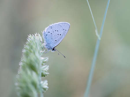 hindwing: Provencal Short Tailed Blue butterfly in meadow. Cupido alcetas.