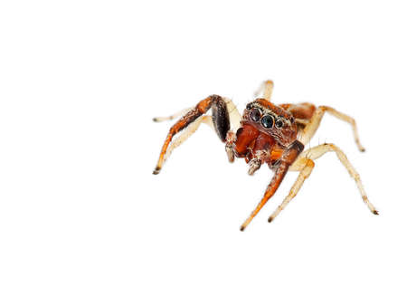 salticidae: Salticidae. Jumping spider on white. Stock Photo