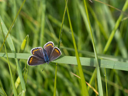 icarus: Female Common Blue butterfly