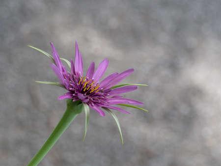 the stamens: Tragopogon porrifolius salsify. Narrow depth of field on stamens. Stock Photo