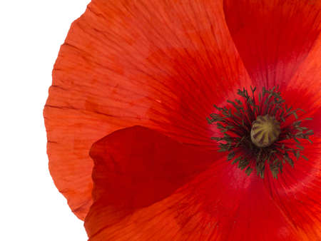 Red Flanders poppy detail isolated. Remembrance.