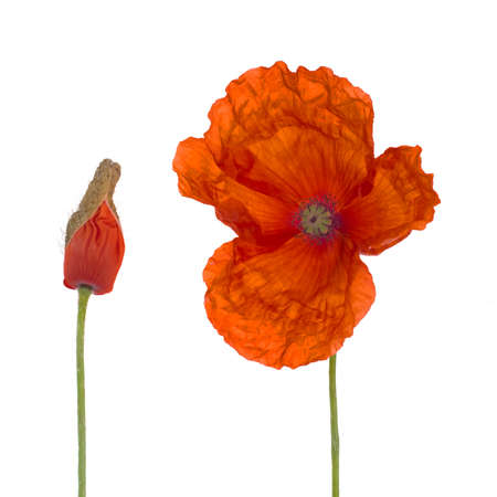 papaver: Flanders poppy and bud isolated on white. Rhoeas papaver.